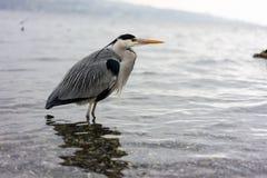 Dźwigowa ptasia pozycja w wodzie, wintertime fotografia stock