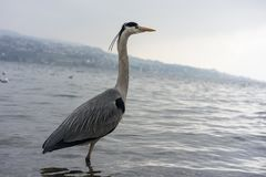 Dźwigowa ptasia pozycja w wodzie, wintertime zdjęcie royalty free
