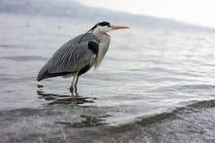 Dźwigowa ptasia pozycja w wodzie, wintertime obraz stock