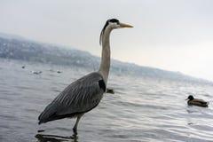 Dźwigowa ptasia pozycja w wodzie, wintertime obrazy royalty free