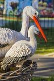 Dźwigowi ptaki jako symbol ekologia Zdjęcie Royalty Free