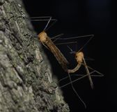 Dźwigowy lata Tipulidae kotelnię zdjęcia stock