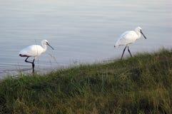 DŹWIGOWY ptak NA jeziorze zdjęcia stock