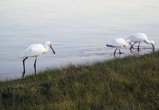DŹWIGOWY ptak NA jeziorze fotografia stock