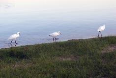 DŹWIGOWY ptak NA jeziorze obrazy stock