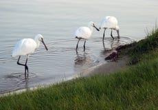 DŹWIGOWY ptak NA jeziorze fotografia royalty free