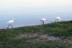 DŹWIGOWY ptak NA jeziorze obrazy royalty free