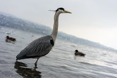 Dźwigowy ptak przy jeziornym Zurich zakończeniem w górę widoku zdjęcia stock