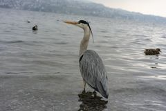 Dźwigowy ptak przy jeziornym Zurich zakończeniem w górę widoku obraz stock