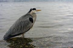 Dźwigowy ptak przy jeziornym Zurich zakończeniem w górę widoku obraz royalty free