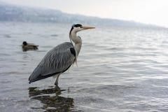 Dźwigowy ptak przy jeziornym Zurich zakończeniem w górę widoku zdjęcia royalty free