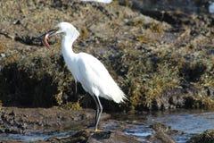Dźwigowy ptasi łapanie na Kalifornia plaży ryba Zdjęcia Royalty Free