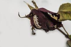 Dżdżownica penetruje Przypala różanego obraz stock