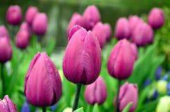 Dżdżyści tulipany Zdjęcia Stock