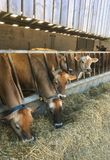 Dżersejowe krowy je trawy kiszonkę, bydło, Zjednoczone Królestwo Obrazy Stock