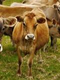 Dżersejowe nabiał krowy, bydło Obrazy Royalty Free