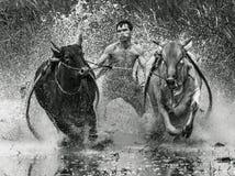 Dżokejów jeździeccy byki w błotnistym polu w Pacu Jawi byku ścigają się festiwal Zdjęcia Royalty Free