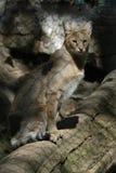 Dżungla kot Obrazy Royalty Free