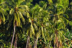 Dżungla lasowy tropikalny krajobraz Tropikalny zielony dżungla widok Lato podróży krajobraz z coco drzewkami palmowymi Zdjęcie Stock