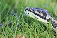 Dżungla pytonu dywanowy wąż Zdjęcia Stock