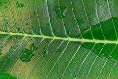 Dżungli greenery wielki liść w makro- zbliżenie strzelającej seans wodzie Zdjęcie Stock
