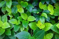 Dżungli zieleń opuszcza lata tło w egzotycznych brzmieniach obrazy stock