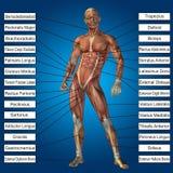 3D与肌肉和文本的人的男性解剖学 免版税库存图片
