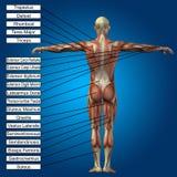 3D与肌肉和文本的人的男性解剖学 免版税库存照片