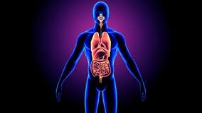 3D人体器官解剖学的例证 免版税库存图片