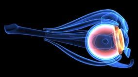 3d人体眼睛解剖学的例证 库存图片