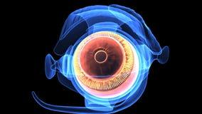 3d人体眼睛解剖学的例证 免版税库存照片
