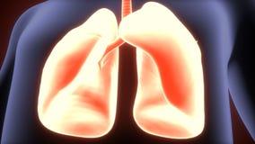 3d人体肺解剖学的例证 图库摄影