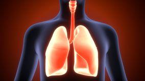 3d人体肺解剖学的例证 免版税库存图片