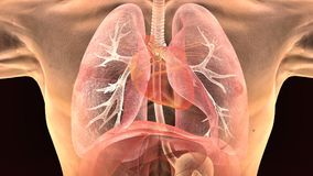 3d人体肺解剖学的例证 库存图片