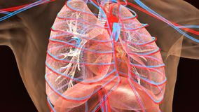 3d人体肺解剖学的例证 免版税图库摄影