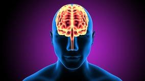 3d人体脑子解剖学的例证 免版税库存照片