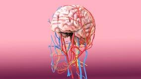 3d人体脑子解剖学的例证 图库摄影