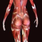 3d人体臀部的例证 库存照片