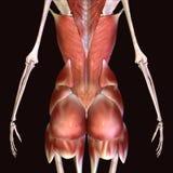 3d人体臀部肌肉的例证 向量例证