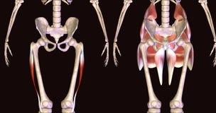 3d人体臀部肌肉的例证 库存例证