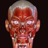 3d人体面孔肌肉的例证 免版税库存图片
