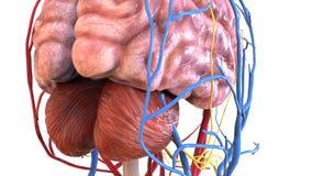 3d人体organbrain解剖学的例证 库存照片