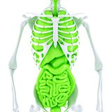 3d人的骨骼和内脏的例证 查出 包含裁减路线 免版税库存照片