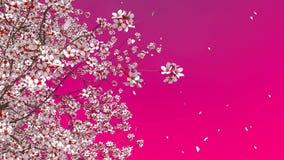 3D佐仓樱桃树开花和落的瓣 股票录像
