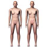 3d例证人体大和小肠 库存照片