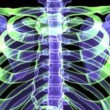3d例证人体肋骨 免版税库存图片