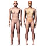 3d例证人解剖学 免版税库存图片