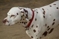 3d剪报在路径翻译影子白色的dalmation狗 库存图片