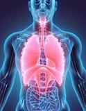3D呼吸系统的例证 免版税库存照片