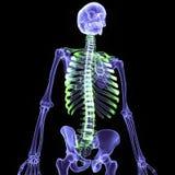 3d回报了人的骨骼的例证 免版税图库摄影